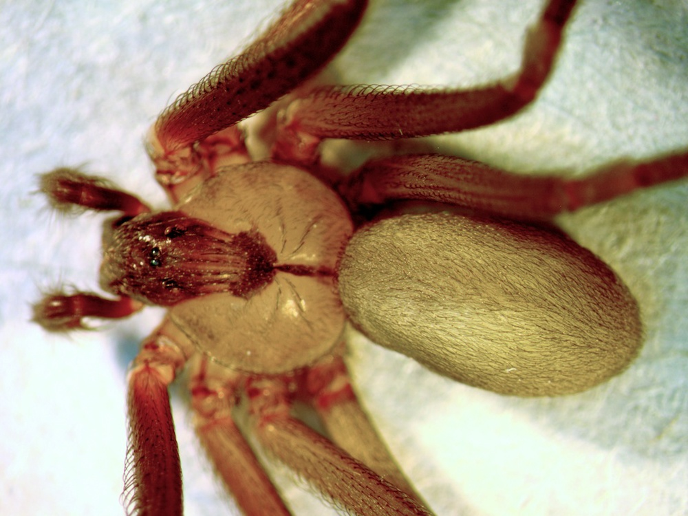 Brown recluse spider, female