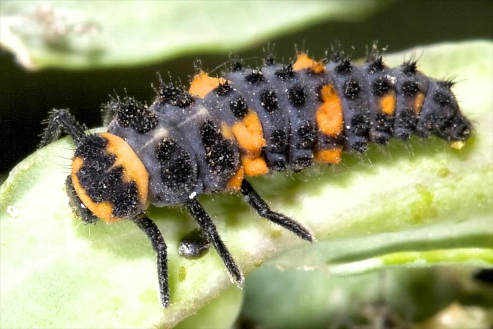Lady beetle larva