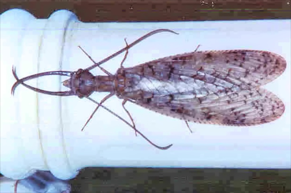 Dobsonfly adult (male)