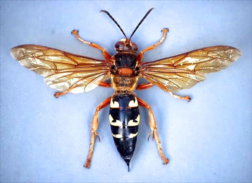 Cicada killer wasp. Photo Credit: Bart Drees, Texas A&M AgriLife Extension