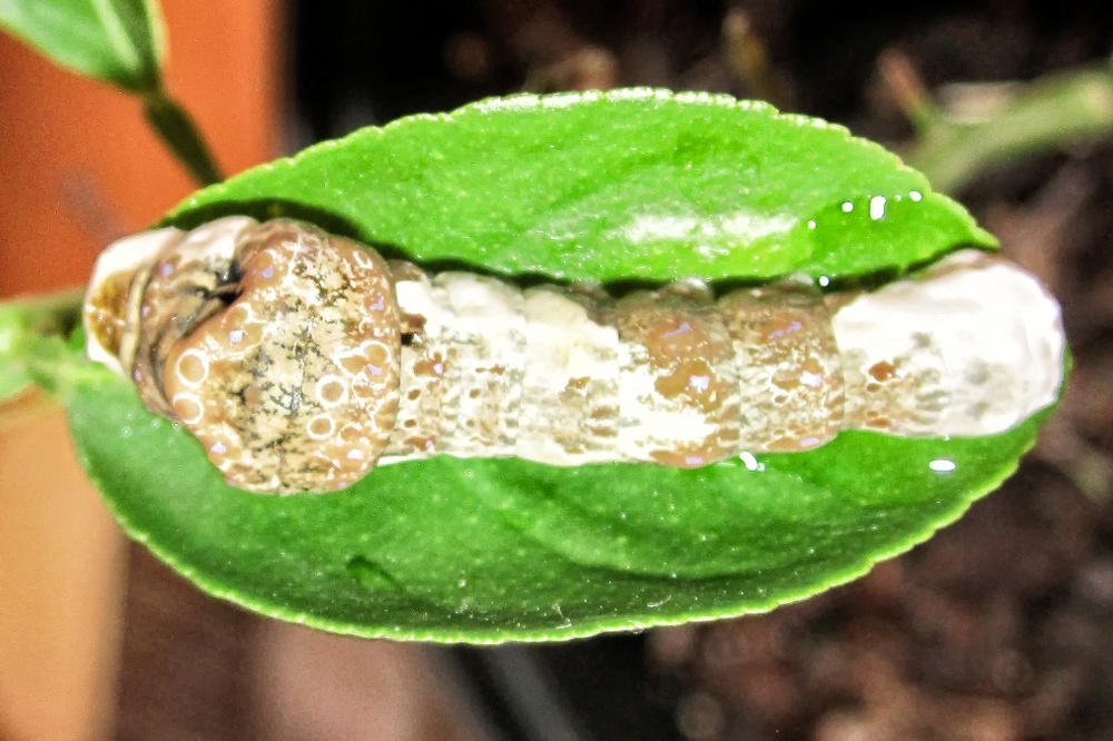 larva of the giant swallowtail butterfly