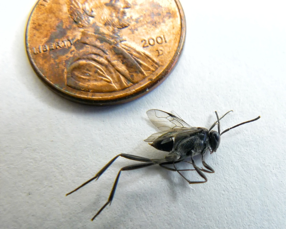 An ensign wasp