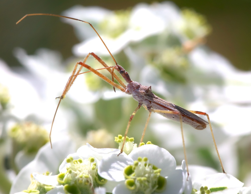Assassin bug, probably in the genus Zelus. Photo Credit: Patrick Porter