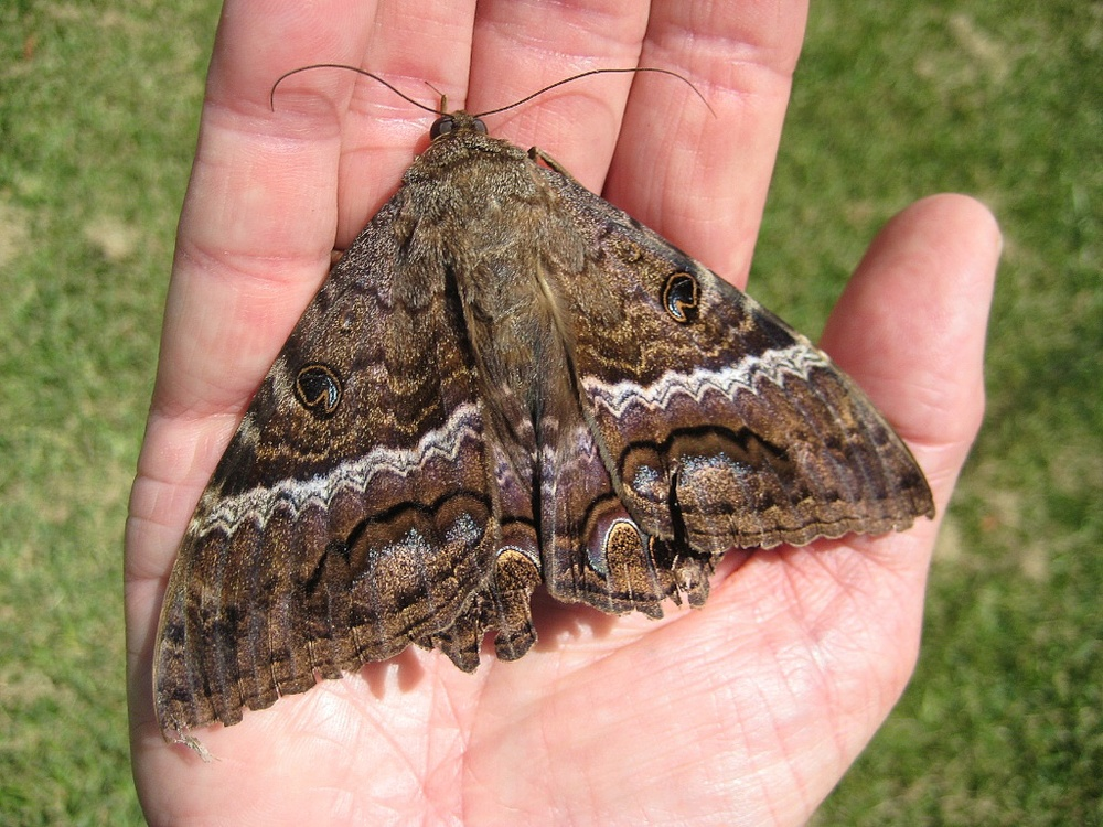 Large Moths Texas Insect Identification Tools