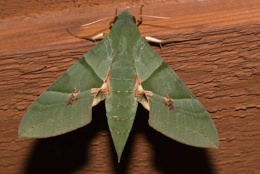 Eumorpha labruscae