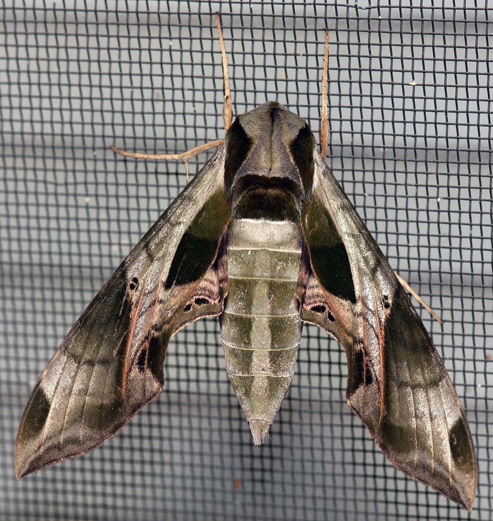 Common Large Moths Texas Insect Identification Tools