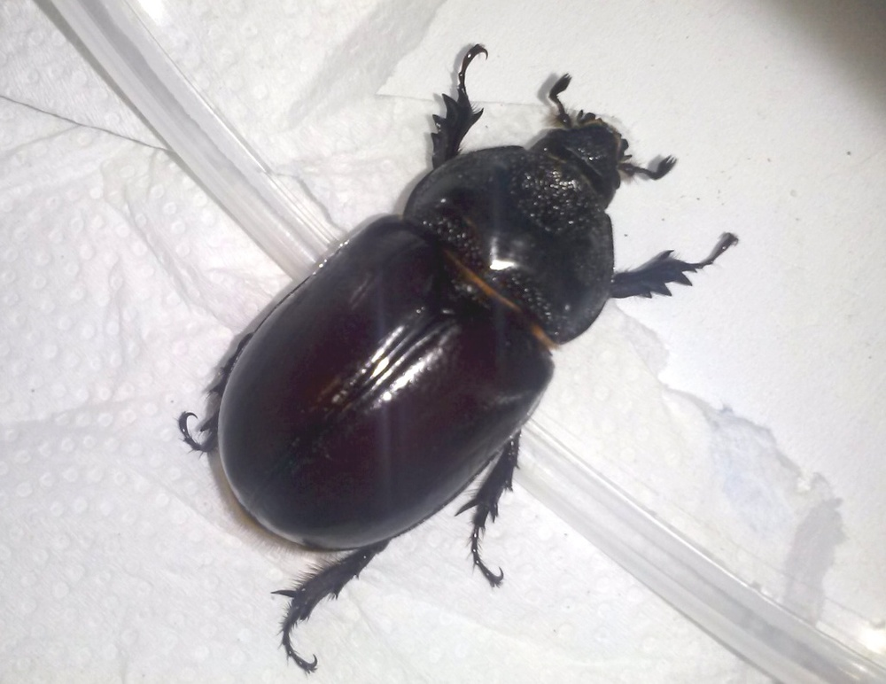 Ox beetle female