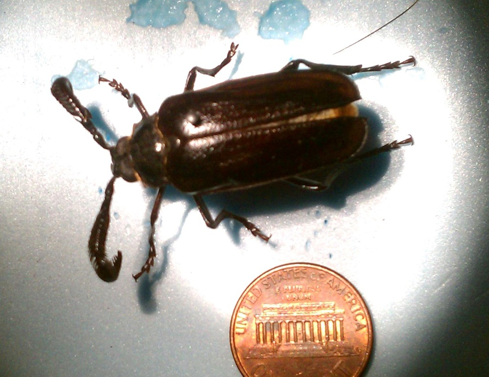 Prionus beetle