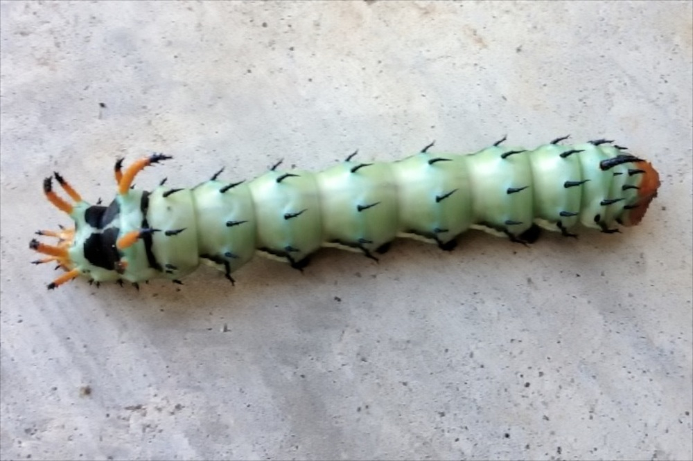 Hickory horned devil