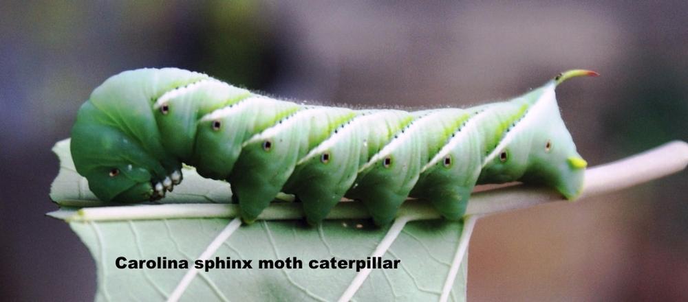 White furry caterpillar texas