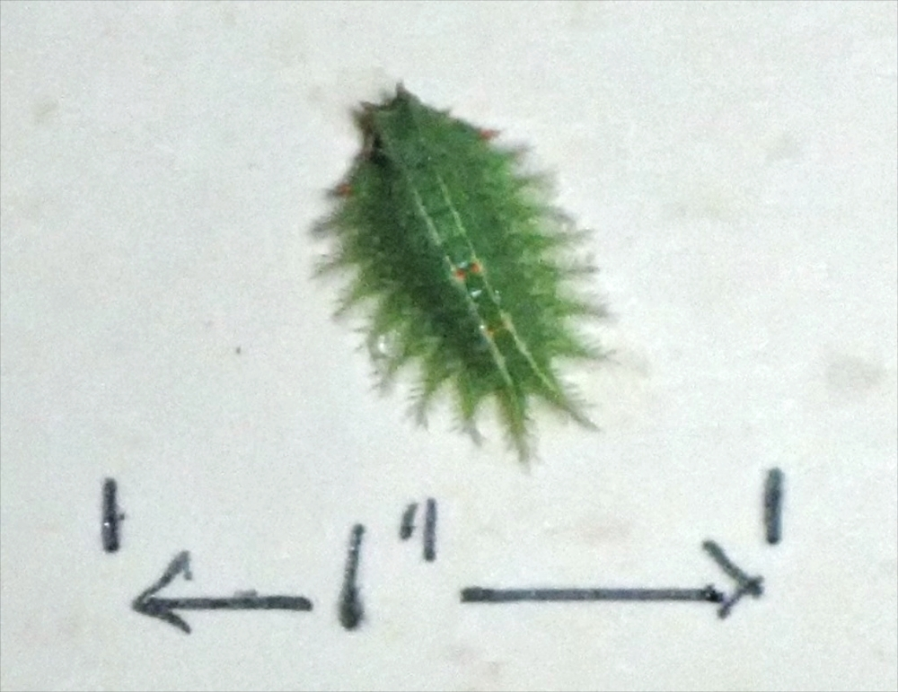Crowned slug caterpillar, Isa textula