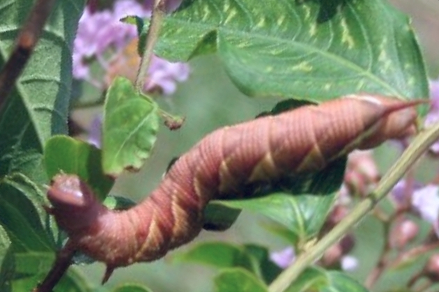 Tobacco hornworm brown form