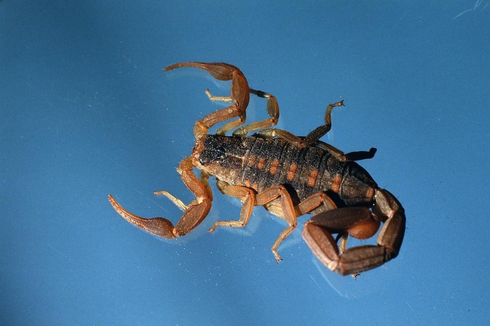 Centruroides vittatus scorpion