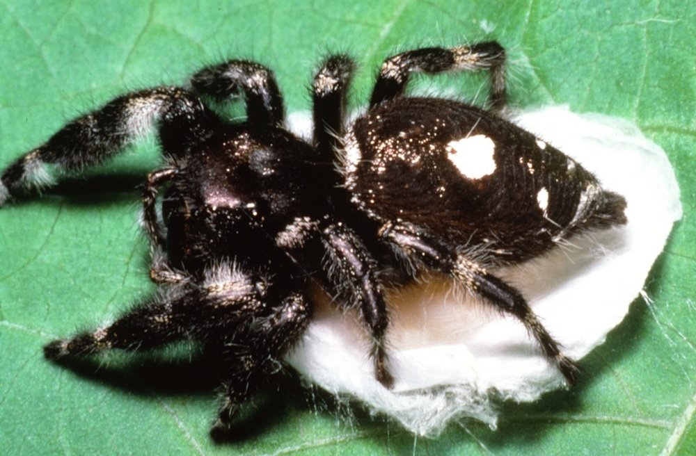 Texas+Spiders+Identification Phidippus audax (Family Salticidae)   1000 x 656 jpeg 229kB