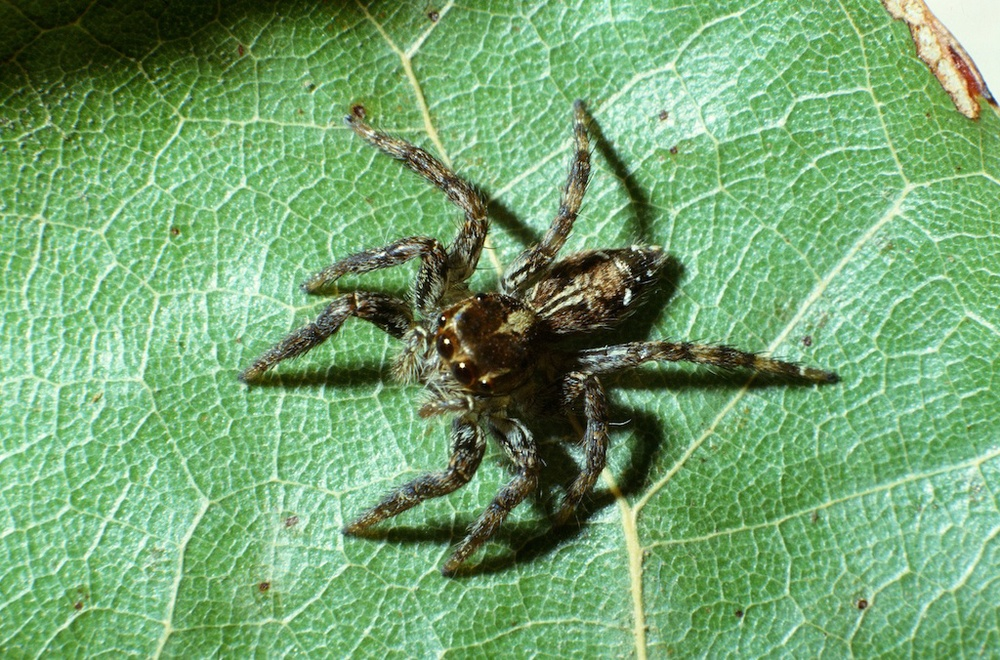 Plexippus paykulli female (Family Salticidae(
