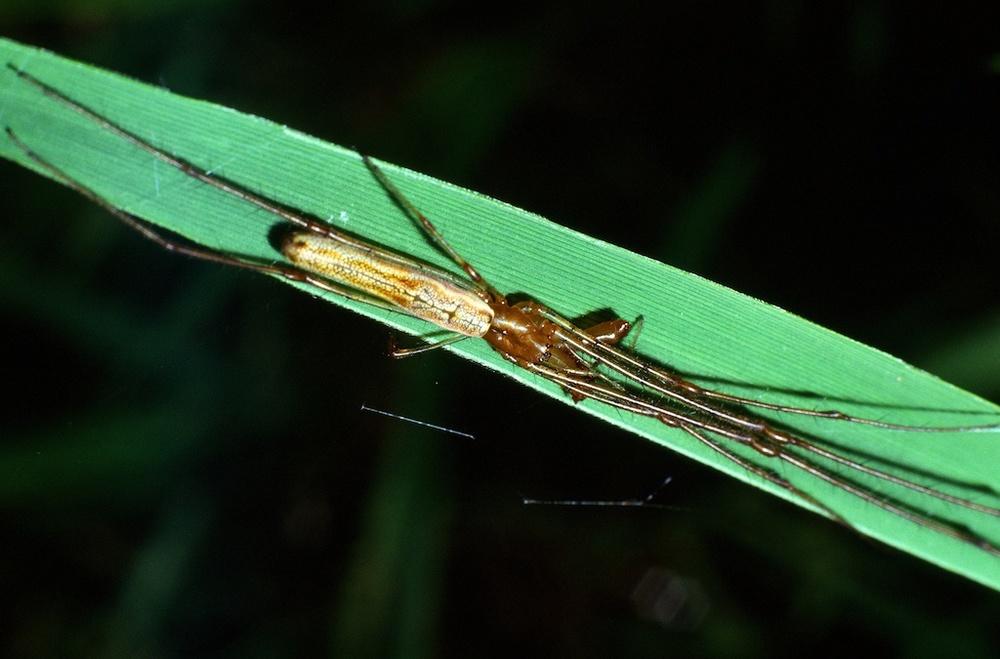 Tetragnatha spp. (Family Tetragnathidae)