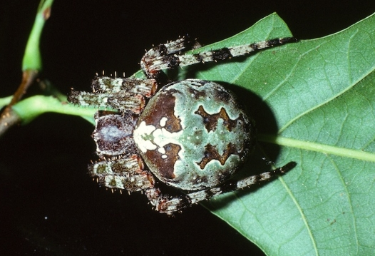 Araneus bicentarius