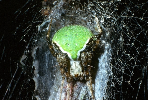 Araneus detrimentusus