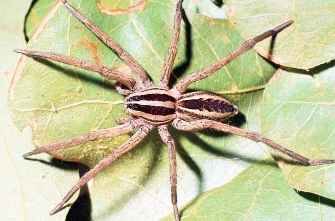 Rhabidosa rabida (Wolf spider)
