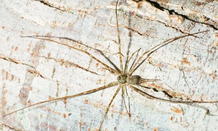 Tama mexicana Family Hersilicidae