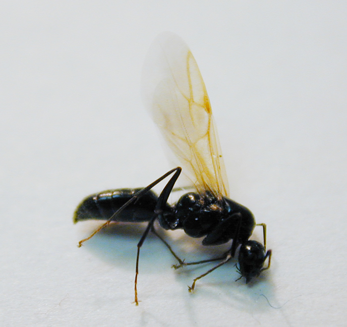 Male carpenter ant