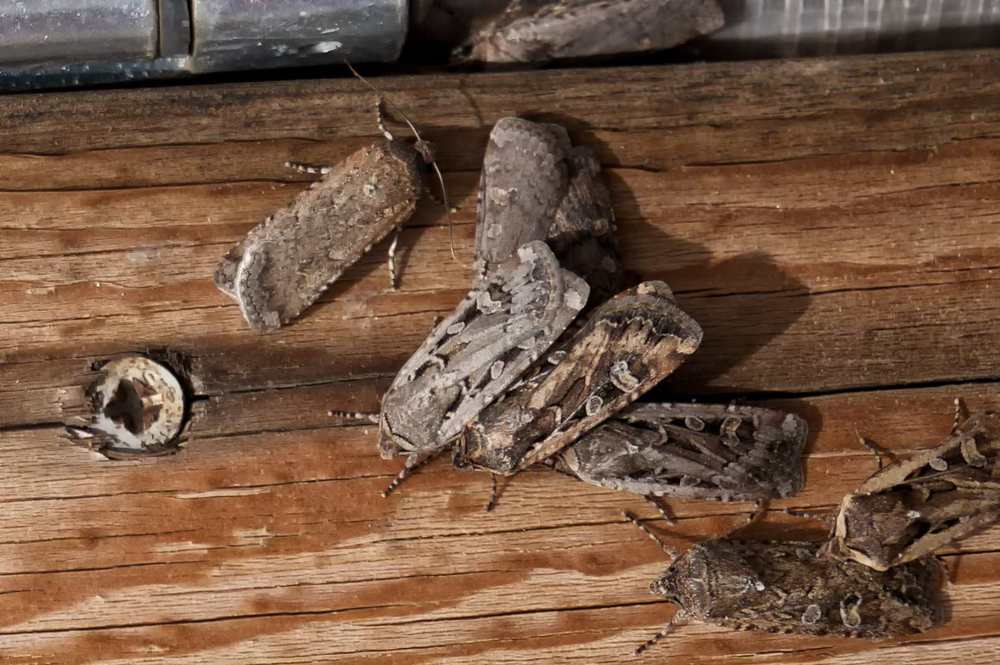 MIller moths (army cutworms)