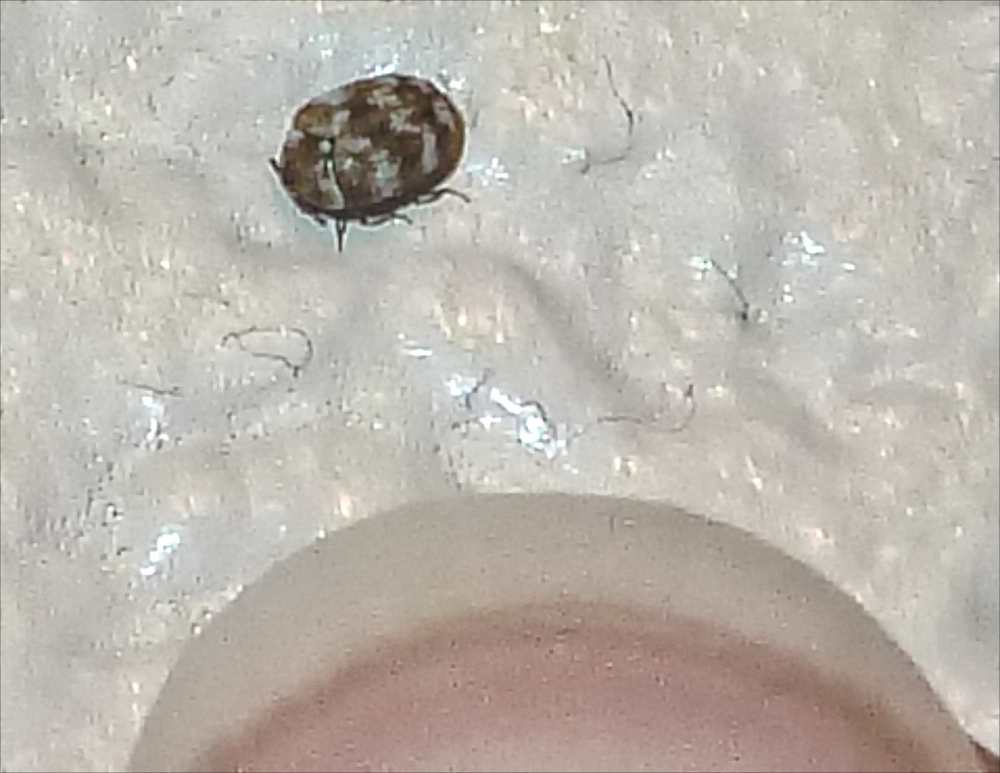 A varied carpet beetle  Photo credit  Sylvia Bejm  Additional images at  http. Common Insects Blog   Texas Insect Identification Tools
