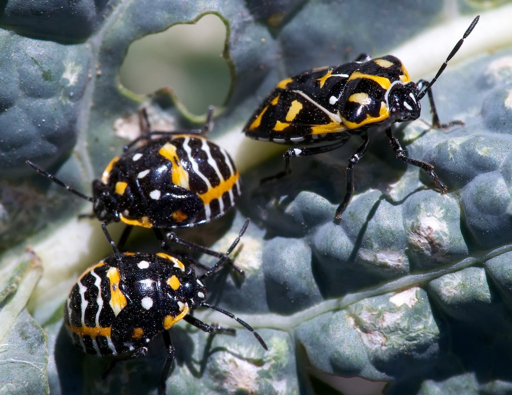Harlequin bug nymphs (left) and adult. Photo credit: Patrick Porter