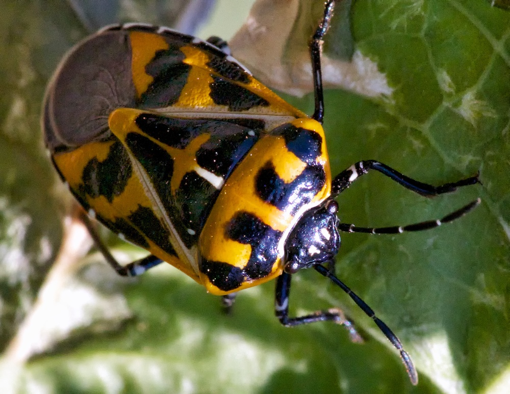 An adult harlequin bug. Photo credit: Patrick Porter