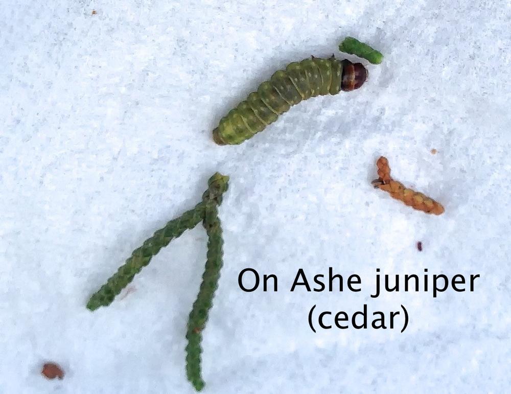 Juniper Budworm On Ashe Juniper Cedar