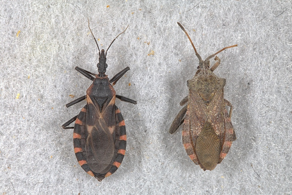 kissing bug (left) and Mozena lunata (right)