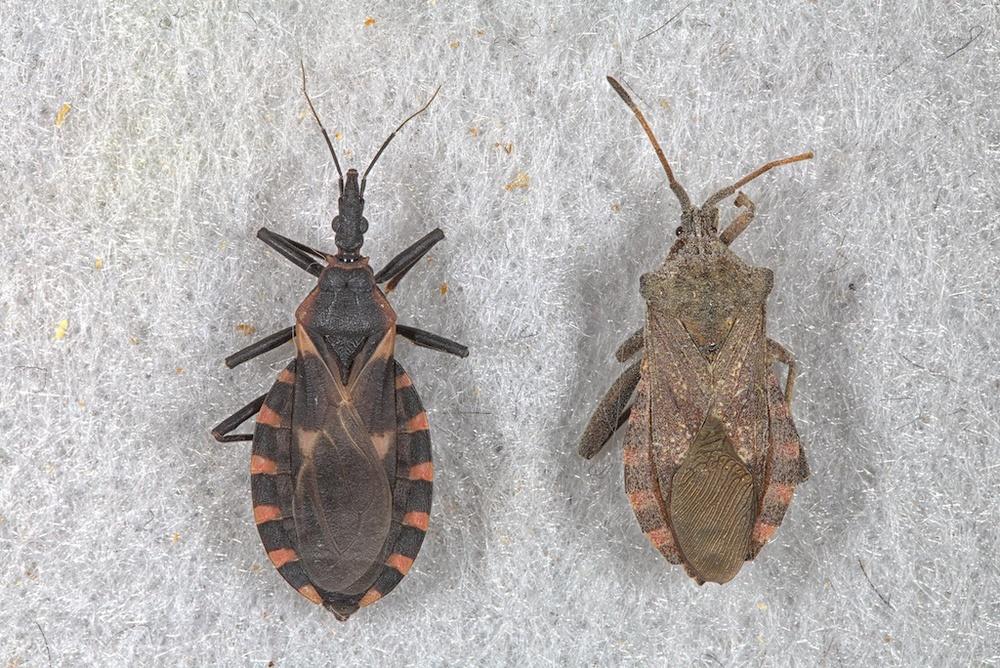 kissing bug (left) and Mozena lunata (right)