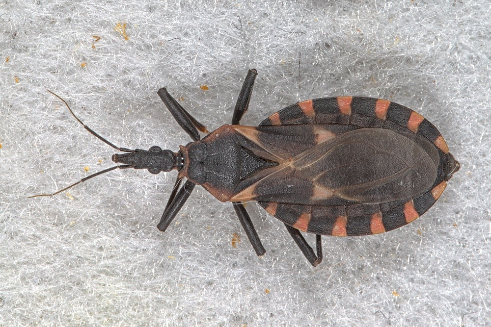 Kissing bug Triatoma gerstaeckeri