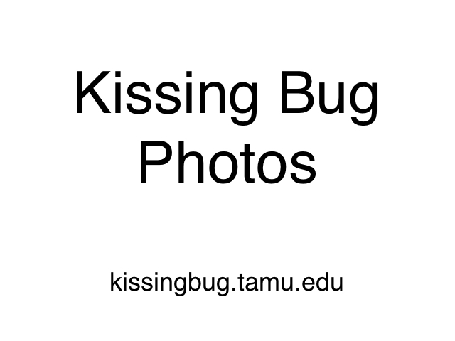 Photos of kissing bugs