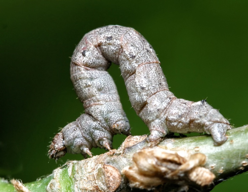 Spring cankerworm. Photo Credit: Mike Merchant.