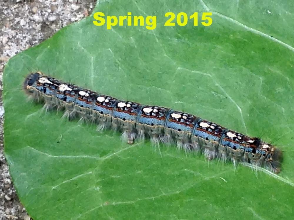 Forest tent caterpillar (4/10/15)