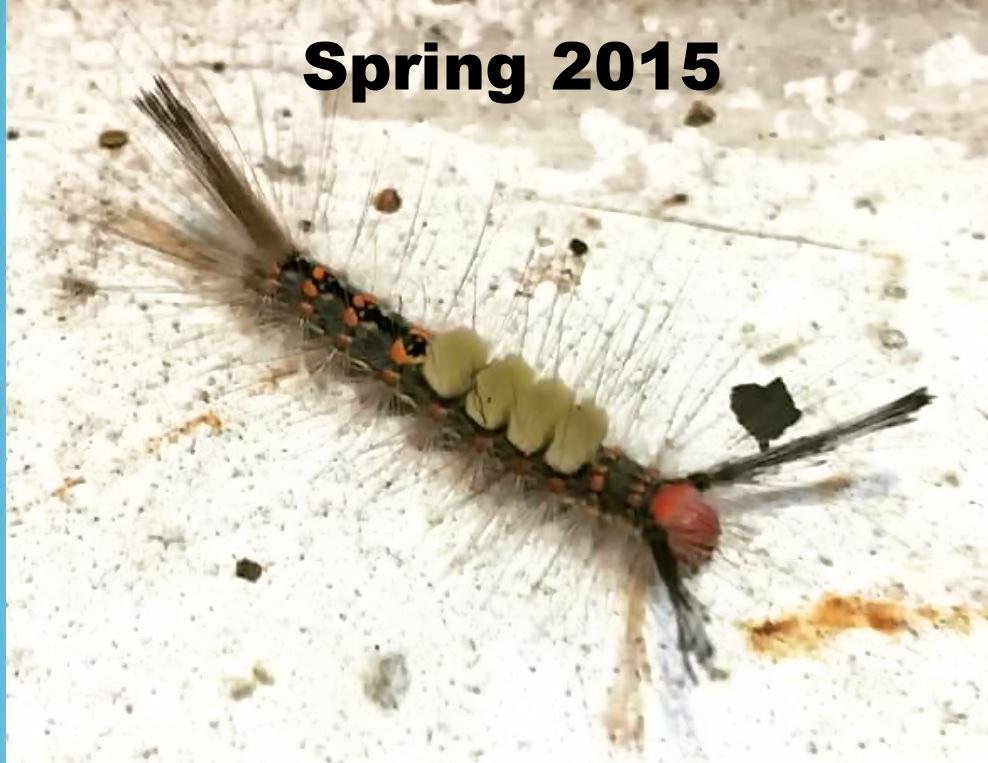 Tussock moth caterpillar (April 2015)