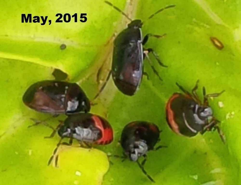 White-margined burrowing bug