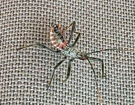 Assassin bug nymph (immature)