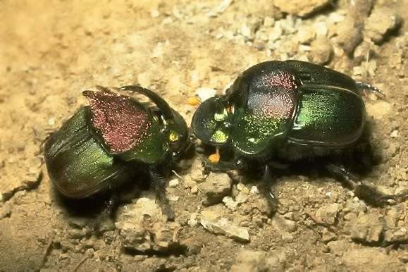 Rainbow scarabs, genus Phanaeus. Photo credit: Bart Drees.