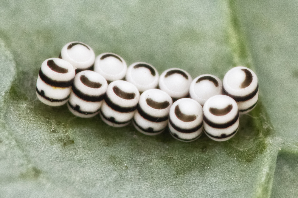 Harlequin bug eggs. Photo credit: Patrick Porter.