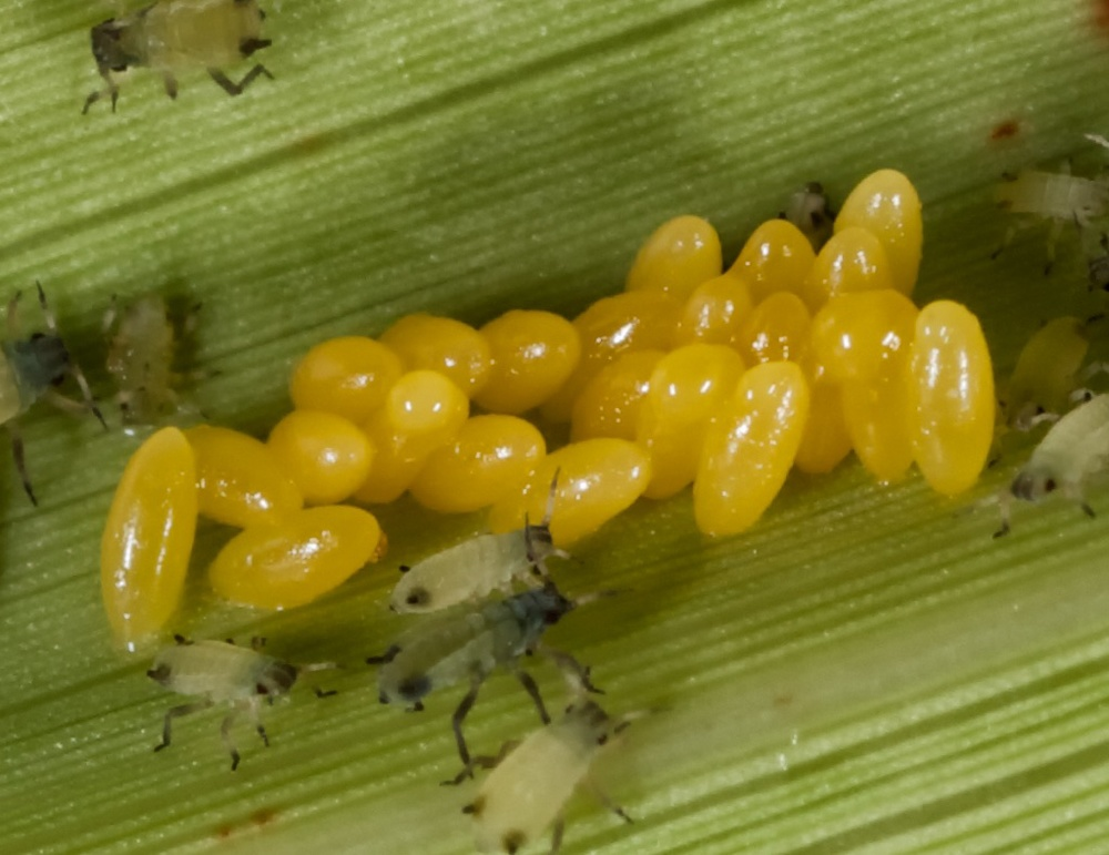Lady beetle eggs among aphids. Photo credit: Patrick Porter.