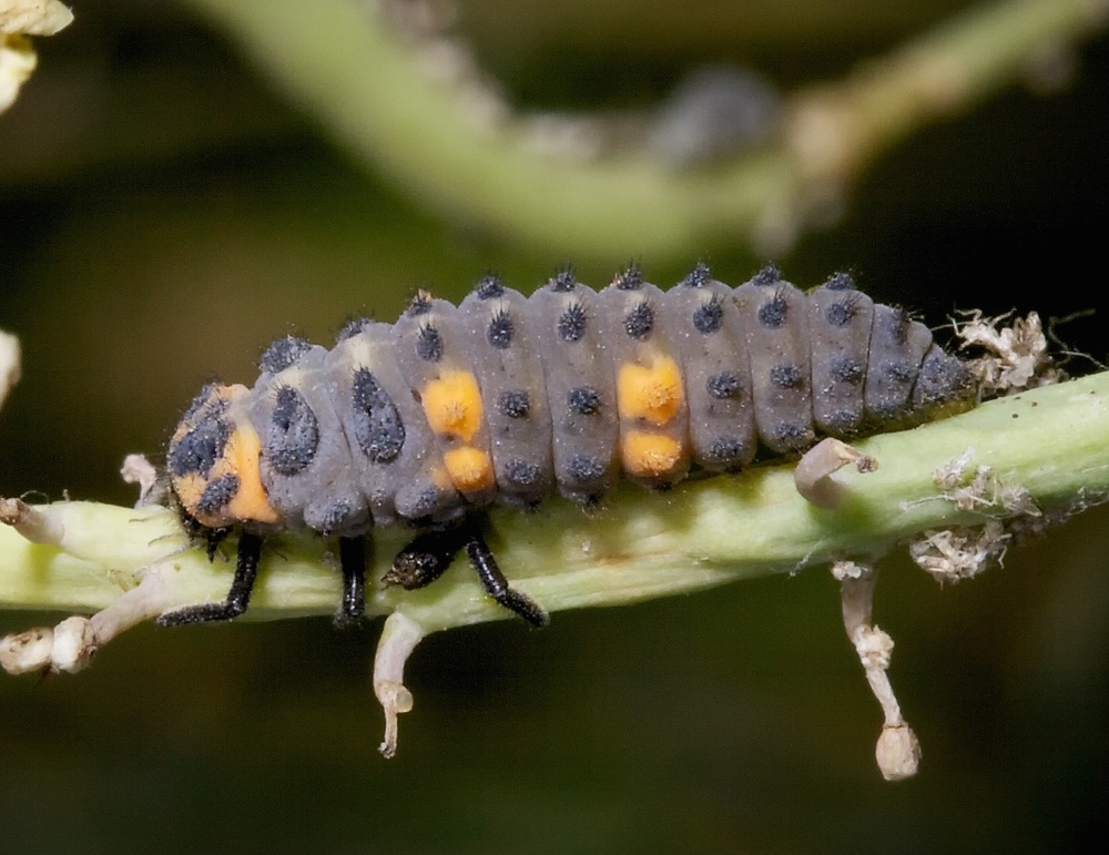 Full-grown lady beetle larva. Photo credit: Patrick Porter