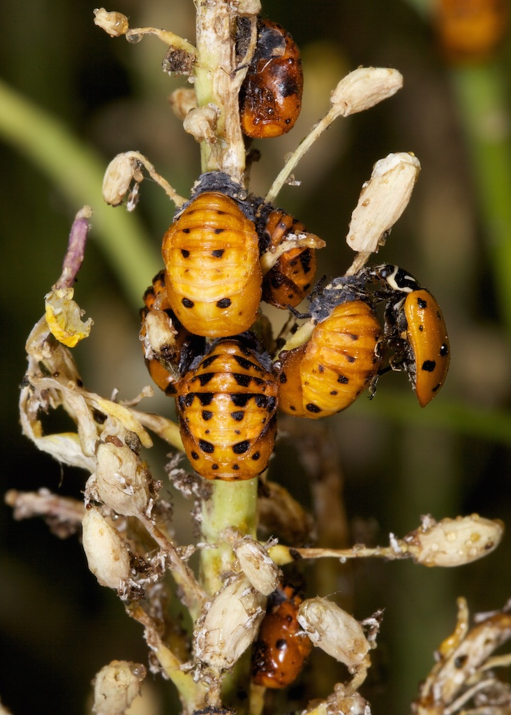 Lady beetle pupae and one adult on right. Photo credit: Patrick Porter.