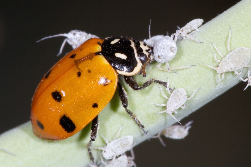 Convergent lady beetle eating aphids. Photo credit: Patrick Porter.