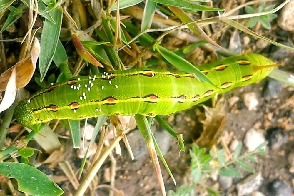 What are probably Tachind eggs on a whitelined sphinx caterpillar. Photo credit: Alicia Alexander.