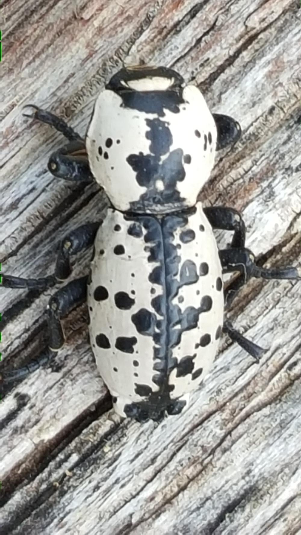 Ironclad beetle. Photo credit: K. C. Rudy.