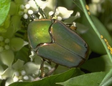 Green June Beetle / Fig Beetle