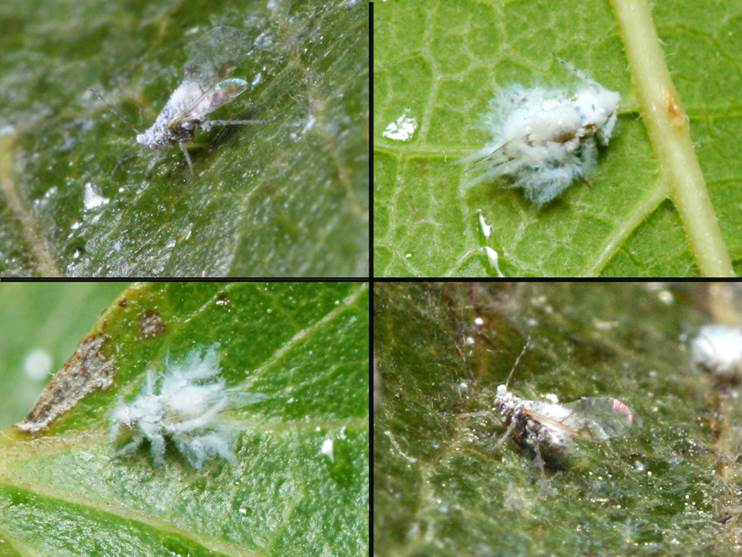 Woolly Aphids