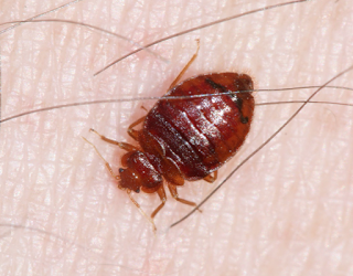 An adult bed bug. Photo courtesy of Bart Drees, Texas A&M AgriLife Extension.